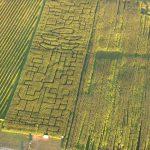 Kukurūzų labirintas